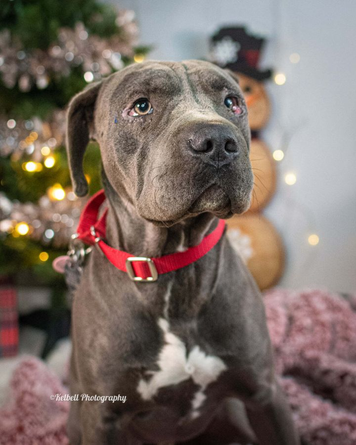 Delta, an adoptable Shar-Pei & Pit Bull Terrier Mix in Newcastle, OK