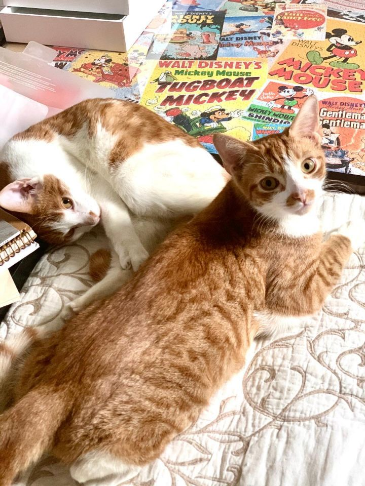 Barney and Fred, an adoptable Domestic Short Hair in Brooklyn, NY