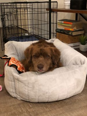 Meet Calvin Calvin is a three-year-old chocolate spaniel mix Calvin was rescued from a hoarding si