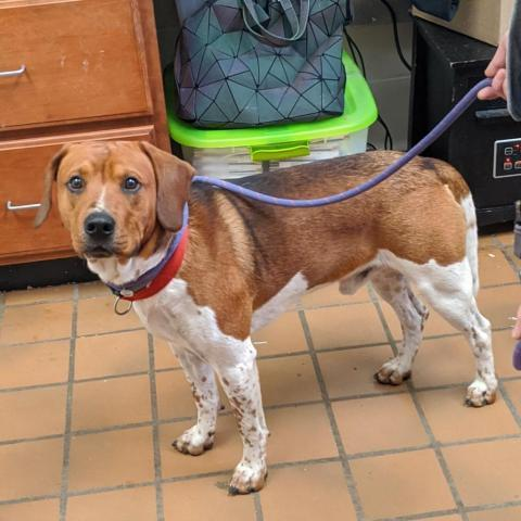 Charlie, an adopted Beagle Mix in Danbury, CT