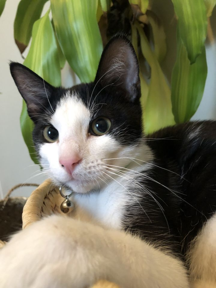 Swiss, an adoptable Domestic Short Hair Mix in Springfield, MO