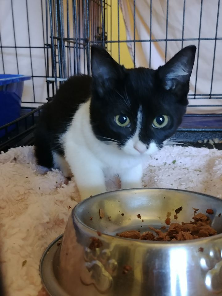 Gala A-2558, an adoptable Domestic Short Hair & Tuxedo Mix in Eaton Rapids, MI