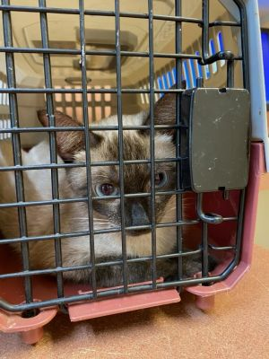 Scherezade is a Siamese mix about 1 years old She is very sweet and affectionate and was a good mom