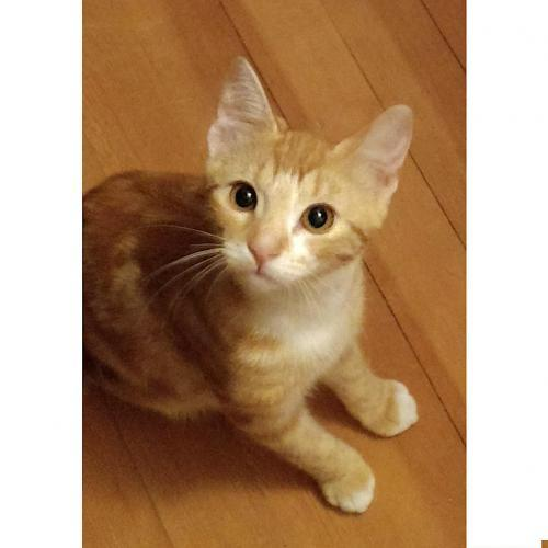 Jetties, an adoptable Tabby & Domestic Short Hair Mix in Springfield, OR