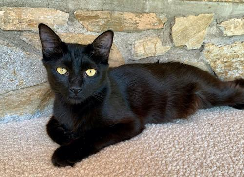 Macaroni, an adoptable Domestic Medium Hair Mix in Springfield, OR