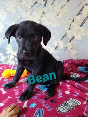 Bean German Shepherd Dog Dog