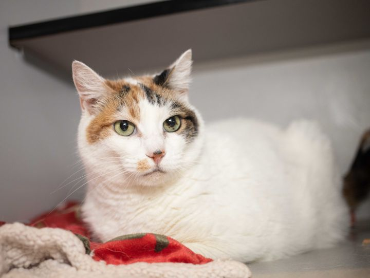 Sage, an adoptable Calico in Los Angeles, CA
