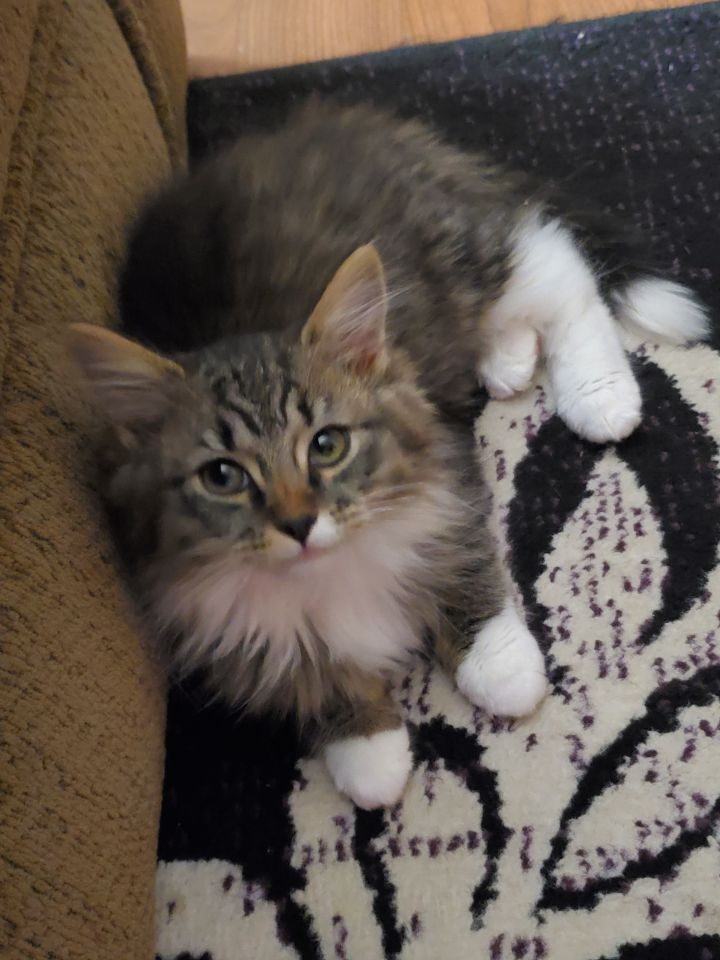 Elsie, an adopted Domestic Long Hair in Eaton Rapids, MI