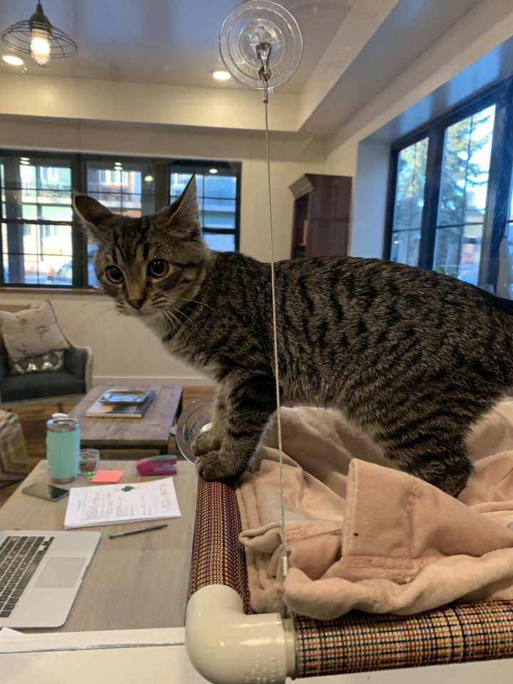 Basil, an adoptable Domestic Short Hair in Jackson, WY