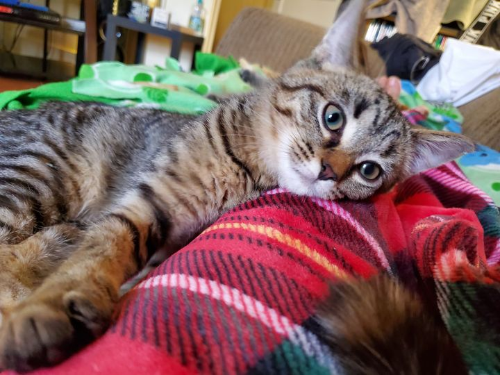 Alani A-2493, an adoptable Domestic Short Hair & Tabby Mix in Eaton Rapids, MI