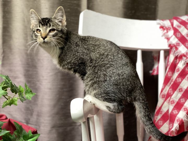 Burke A-2644, an adopted Domestic Short Hair & Abyssinian Mix in Eaton Rapids, MI