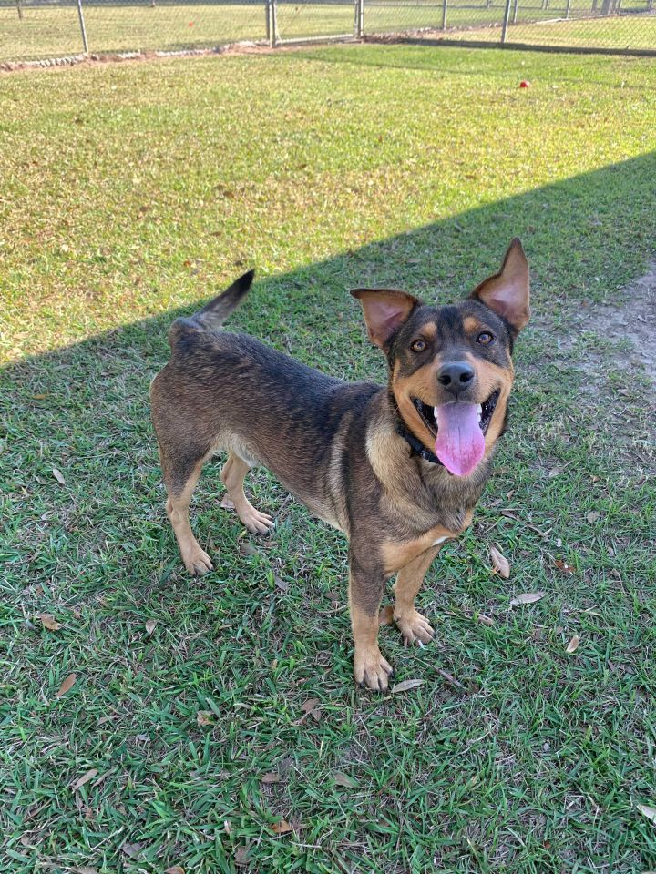 McDonald, an adoptable Shepherd & Terrier Mix in Carencro, LA