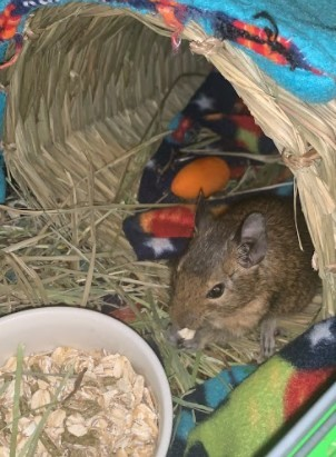 Breve, an adoptable Degu in Saint Paul, MN