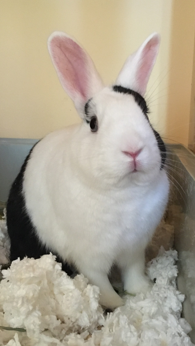 Scooter, an adoptable Netherland Dwarf in Philadelphia, PA