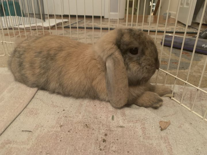 Yoda, an adopted Lop Eared & Harlequin Mix in Philadelphia, PA