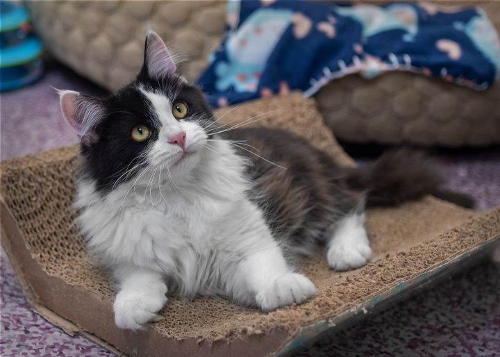 Hubby, an adopted Domestic Medium Hair in Harrisburg, PA