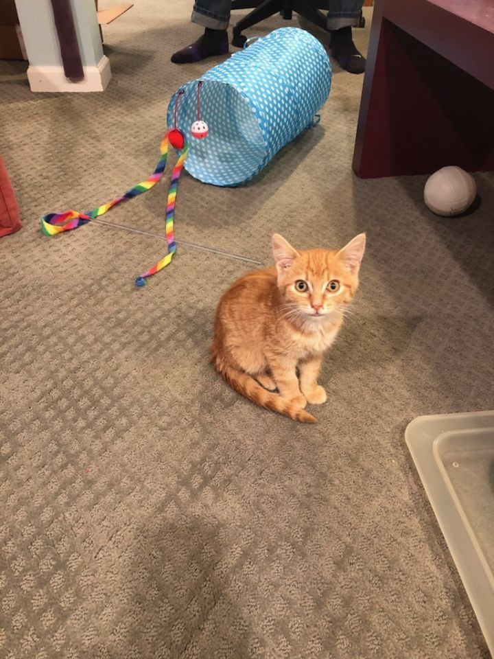 Butter, an adopted Domestic Short Hair & Domestic Medium Hair Mix in Hainesville, IL