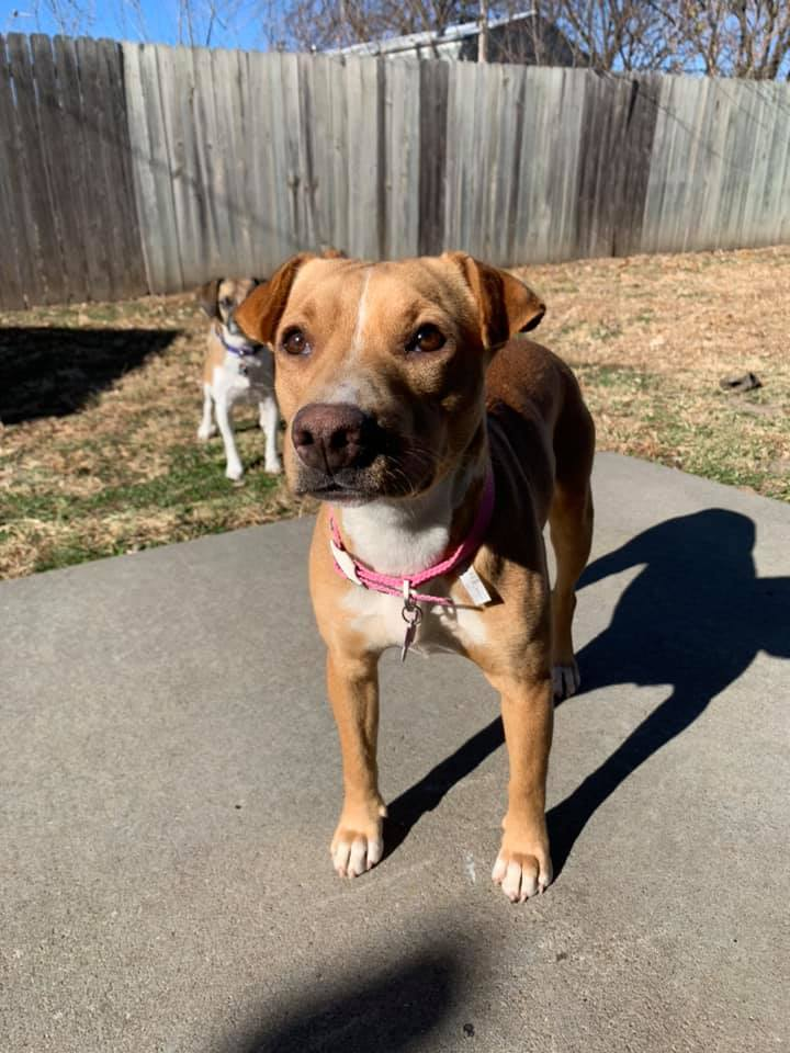 Reese, an adopted Shar-Pei & Beagle Mix in Manhattan, KS