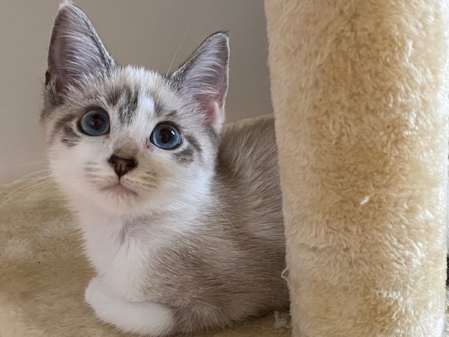 Blue Steele & Le Tigre, an adopted Siamese & Domestic Short Hair Mix in Cincinnati, OH