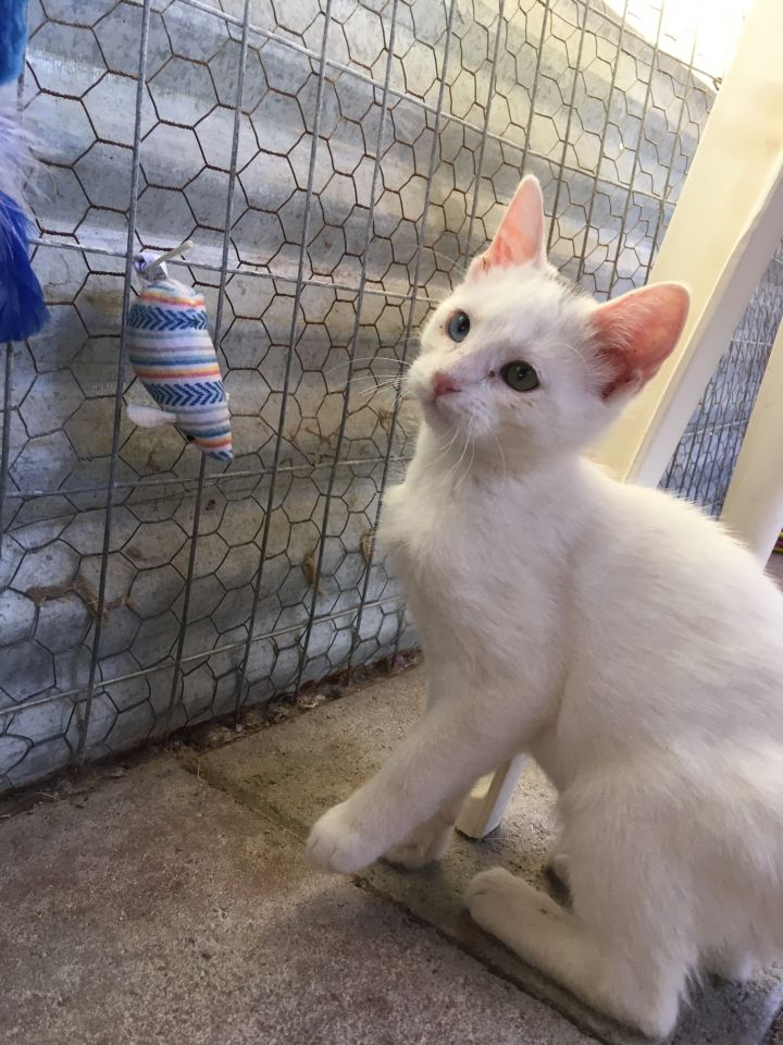 Deuce, an adoptable Domestic Short Hair in Williamsburg, NM