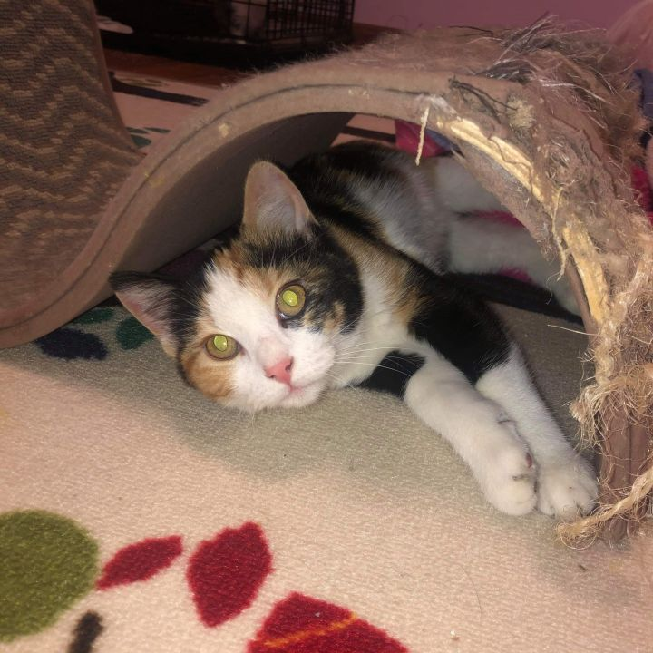 Callie, an adopted Domestic Short Hair in Omaha, NE