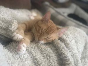 Meet Butternut a super sweet 6 month old adorable orange tabby boy good with other cats and dogs t