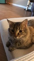 Abby, an adoptable Domestic Medium Hair & Tabby Mix in Manhattan, KS