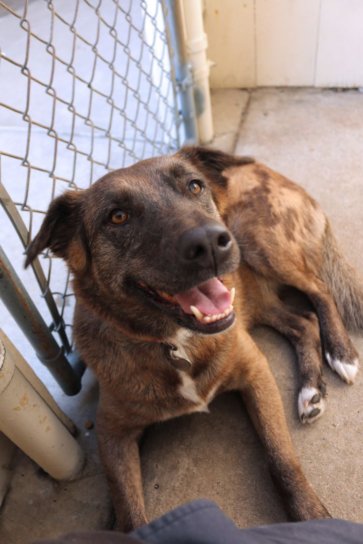 Indie, an adopted Shepherd Mix in Encinitas, CA