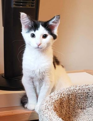 Henrietta is a beautiful 4 month old baby girl with medium length hair Apply at wwwanimalnationor