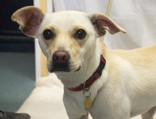 Whiskey, an adoptable Chihuahua & Terrier Mix in Louisville, KY