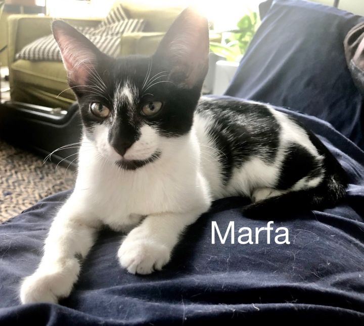 Marfa, an adoptable Domestic Short Hair Mix in Miami, FL_image-1