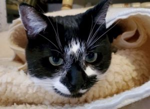 Lucy is an adorable 6 year old female cat She is fully vetted and ready for adoption Lucy is an