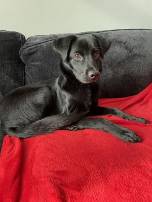 HEATON 1 year old 34lbs Lab Mix Neutered Male NEEDS HOME OUTSIDE OF THE CITY Another hotdog love