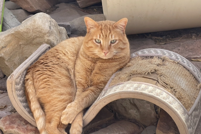 Tito, an adoptable Domestic Short Hair in Williamsburg, NM
