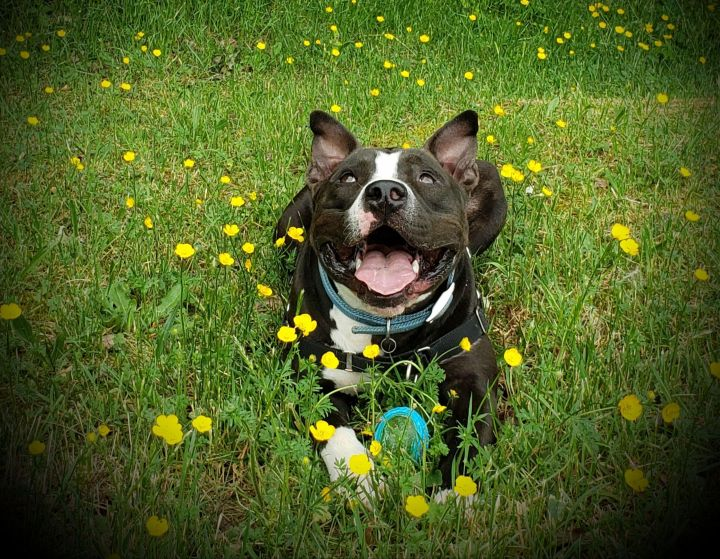 Reggie, an adoptable American Staffordshire Terrier in Charles City, VA