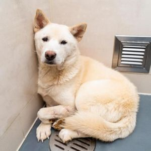 Andy was one of the many dogs rescued by HSI from a meat farm in South Korea We want to