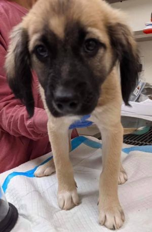 You can fill out an adoption application online on our official website Leigh AL is a female Shep