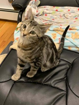 Adorable Talia just shy of 4 months old this tabby girl needs a home Apply at wwwanimalnationor