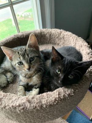 Adorable Talia tabby  Salem are bonded siblings looking for a home together Salem looks for her