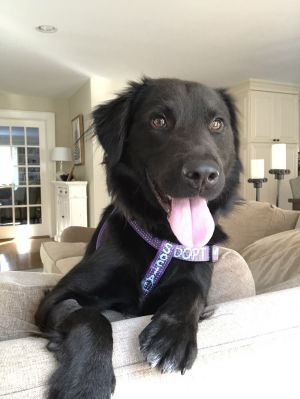 COLLINS 18 months 35lbs as of 1114 Flat-Coat Retriever Mix Neutered Male HIGH ACTIVE Collins