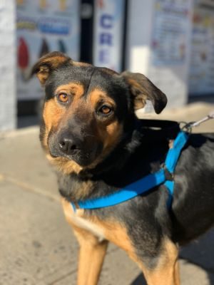 CUTTER 18 months 46lbs as of 1114 Shepherd Mix Neutered Male Higher Active Sometimes its lo