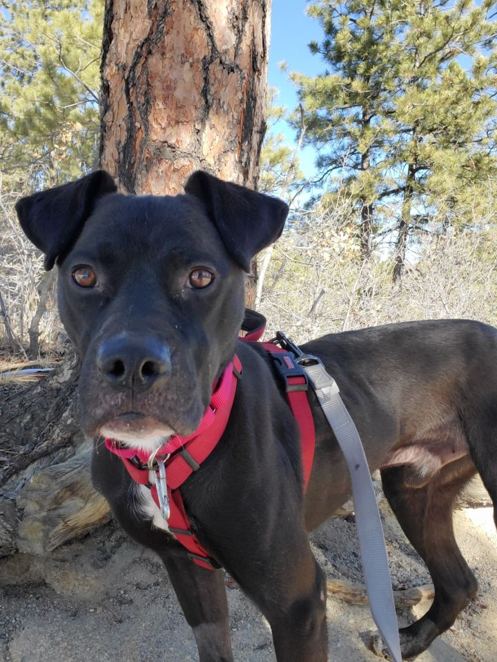 Indio, an adoptable Pit Bull Terrier Mix in Colorado Springs, CO
