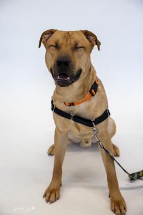 Brutus, an adoptable Labrador Retriever & Pit Bull Terrier Mix in Clarks Summit, PA