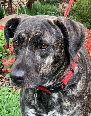 Jewel Labrador Retriever Dog