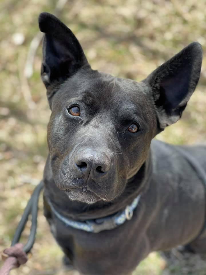Lance, an adoptable German Shepherd Dog Mix in Lake Odessa, MI