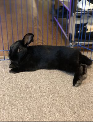 Angus is a medium-sized boy who was part of a large rescue effort 102 rabbits due to severe breed