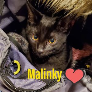 Pinky and Malinky Domestic Short Hair Cat