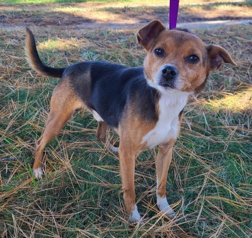 Cary, an adopted Jack Russell Terrier & Beagle Mix in Lenoir, NC