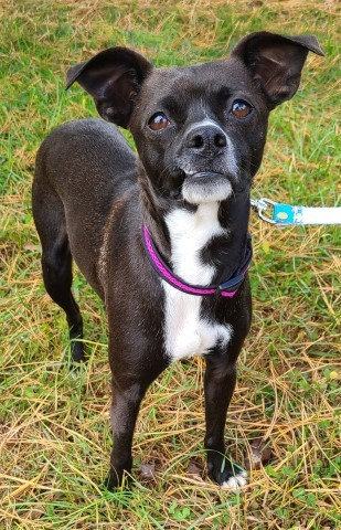 Tootsie, an adopted Feist & Terrier Mix in Lenoir, NC