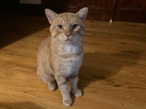Obi Wan Domestic Short Hair Cat